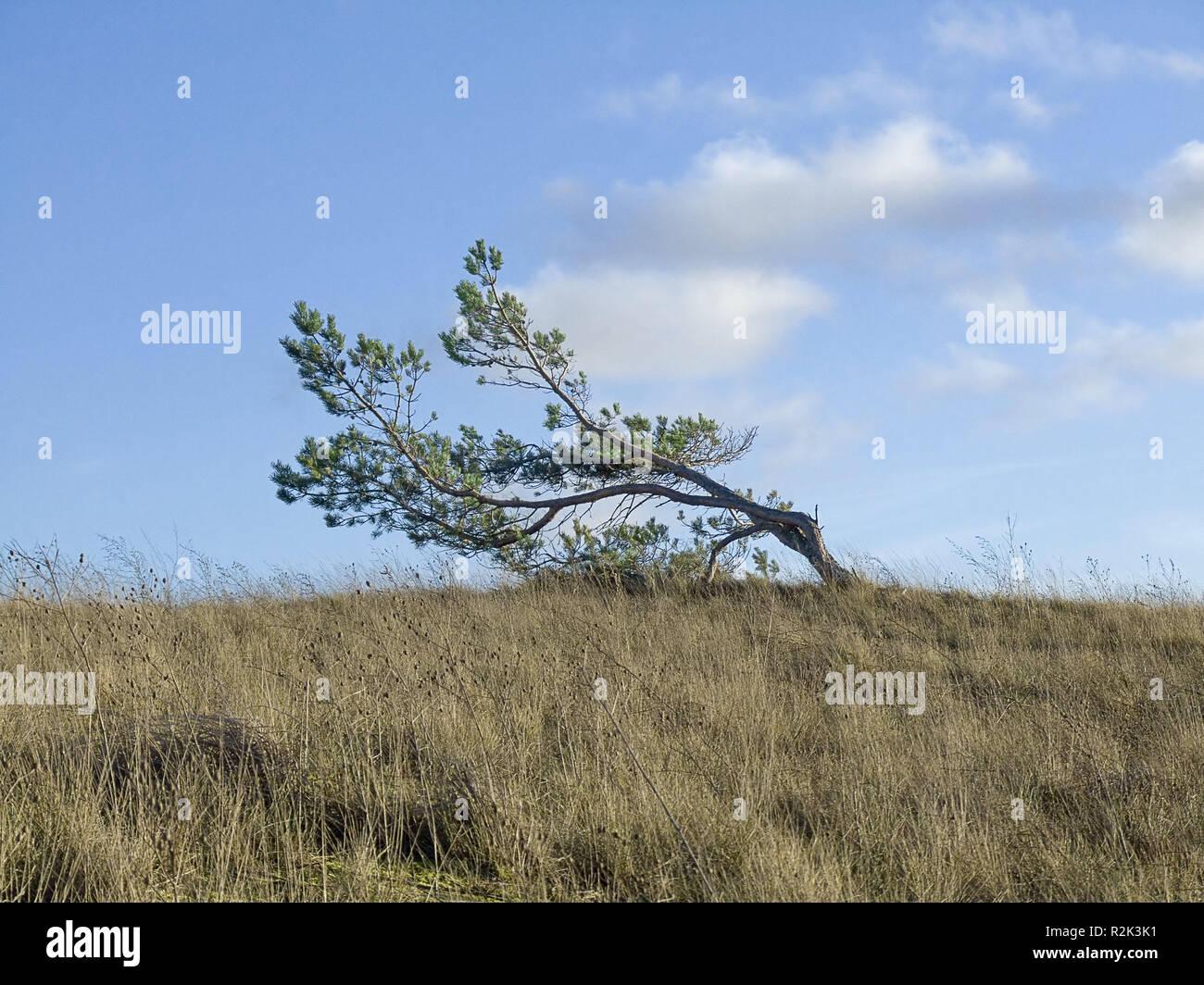 Natur, Landschaft, Baum, single, einsame Baum, schräg, windswept, Stockbild
