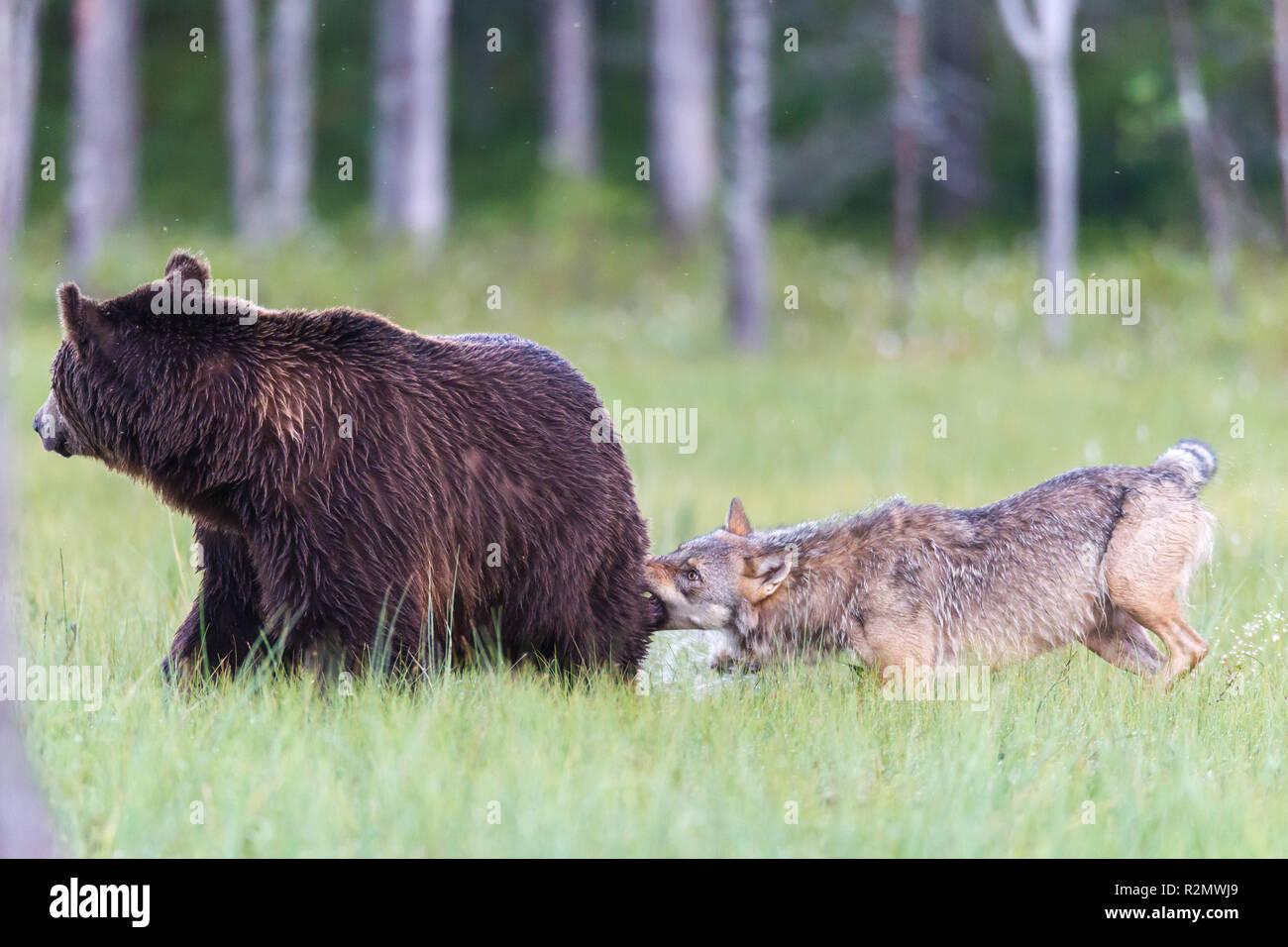 Wolf Angriffe Braunbär Stockfoto