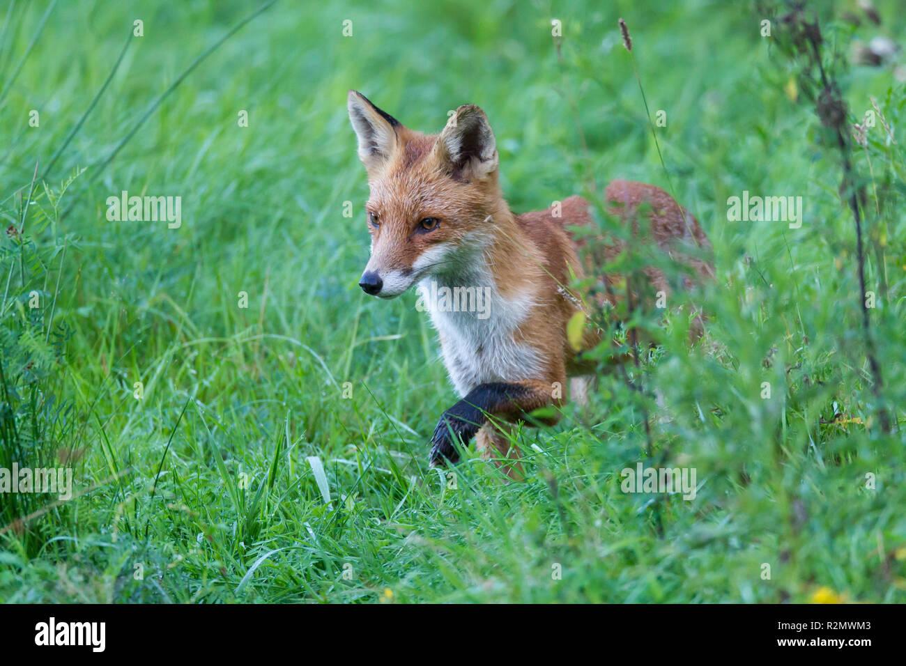 Fuchs auf der Jagd Stockfoto