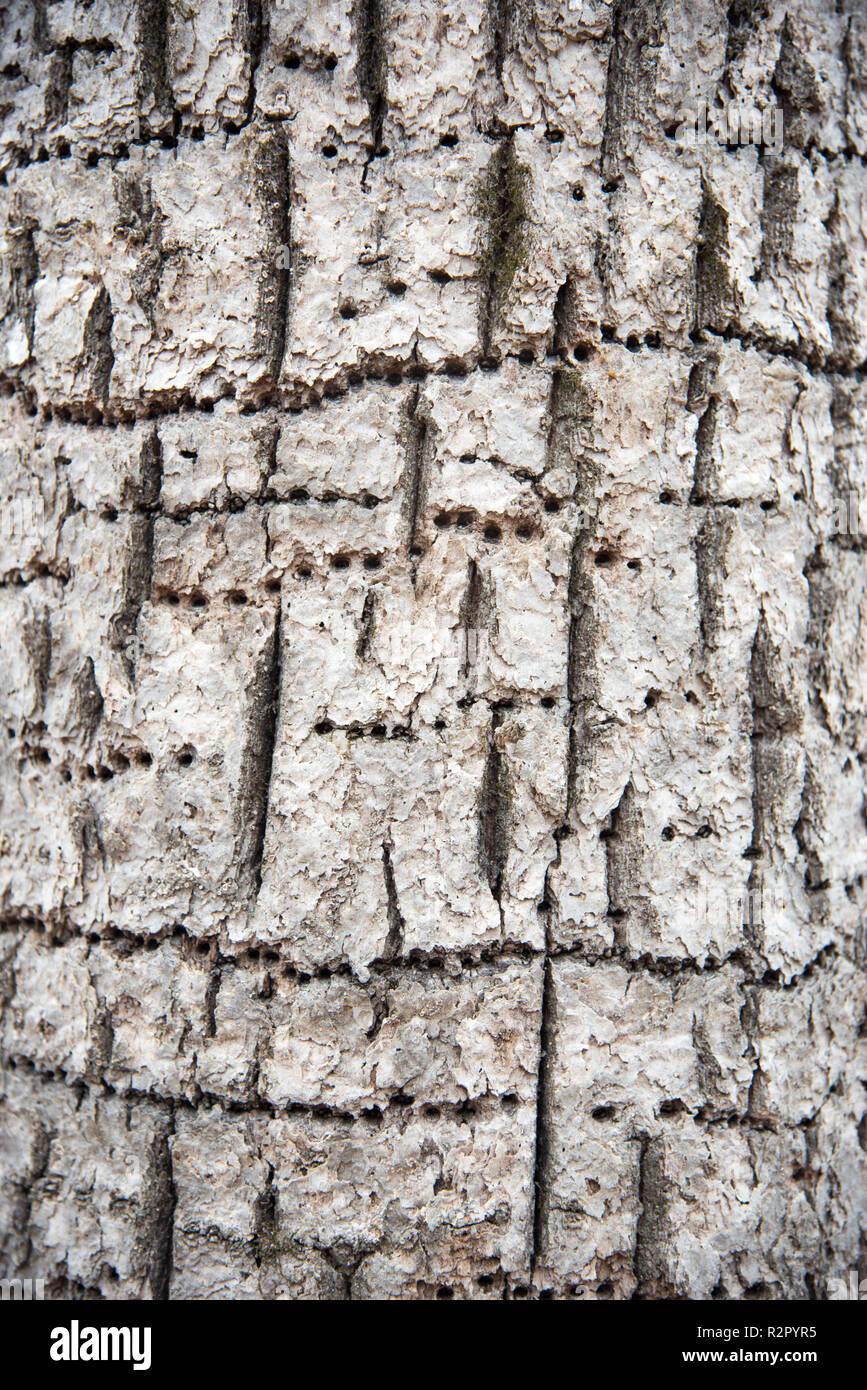 Baumstamm mit spechthöhlen in Wiederholung in den im Wald in Minnesota in den Vereinigten Staaten. Stockbild