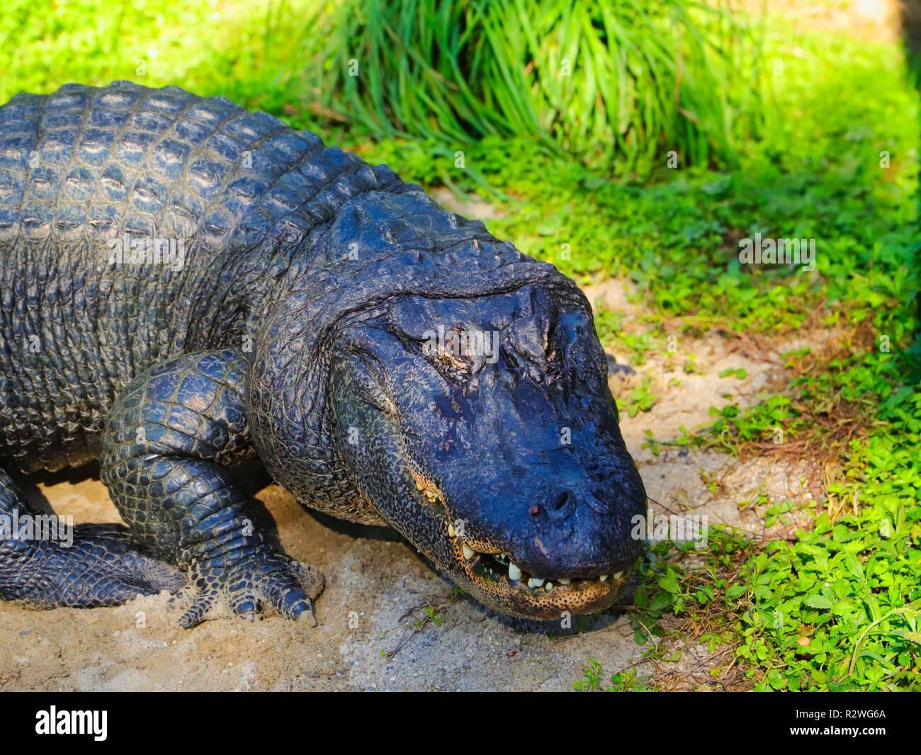Krokodil im Grünen Stockbild
