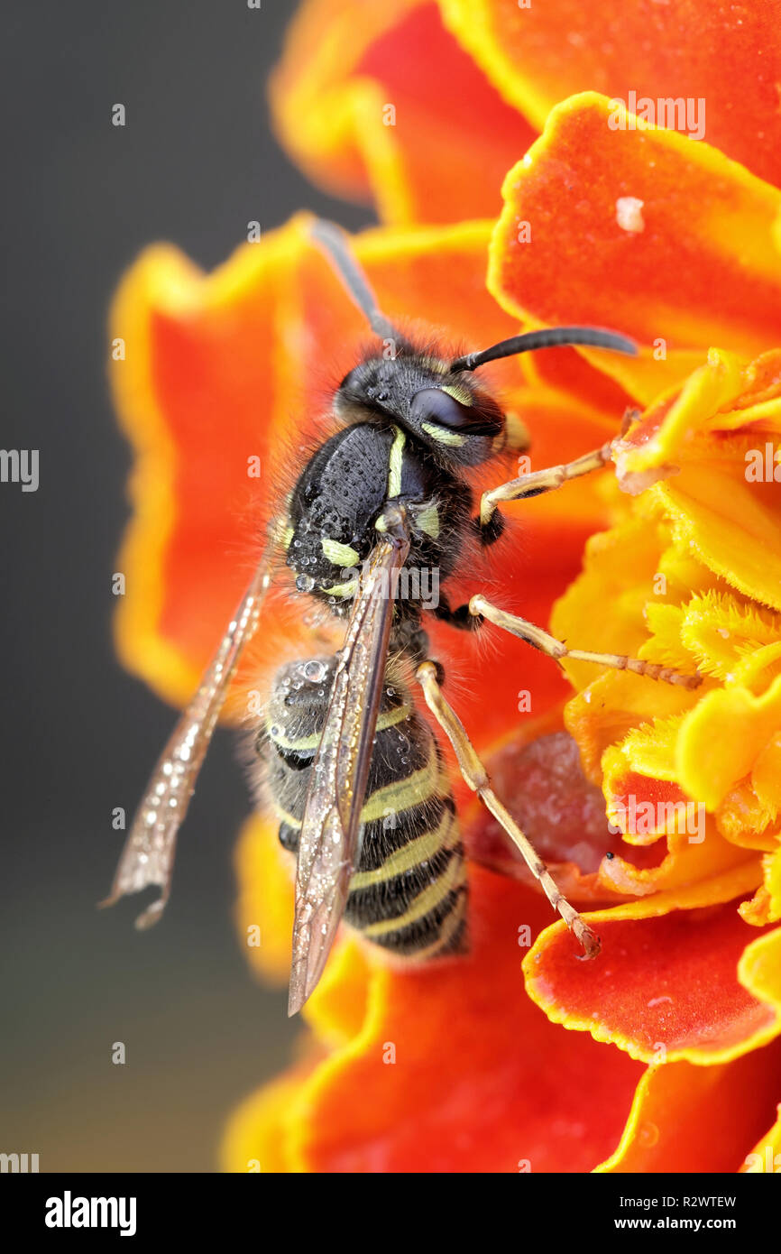 Gemeinsame gelb - Jacke oder Europäische Wespe, Vespula vulgaris Stockbild