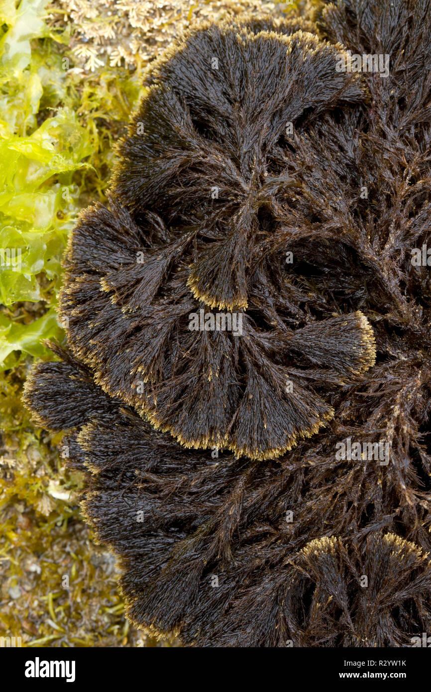Braun Malaga (Stypocaulon scoparium), Hendaye, Pyrénées-atlantiques, Frankreich Stockbild