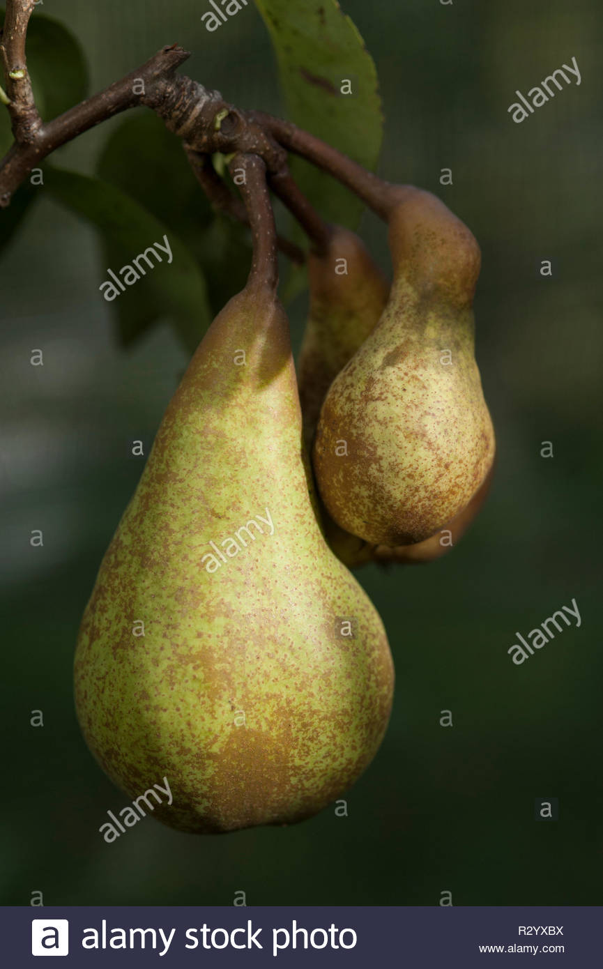 """Pear"""" Abbe Fetel' (Syn:'Abbate Fetel' oder 'Calebasse à Fetel') Stockbild"""