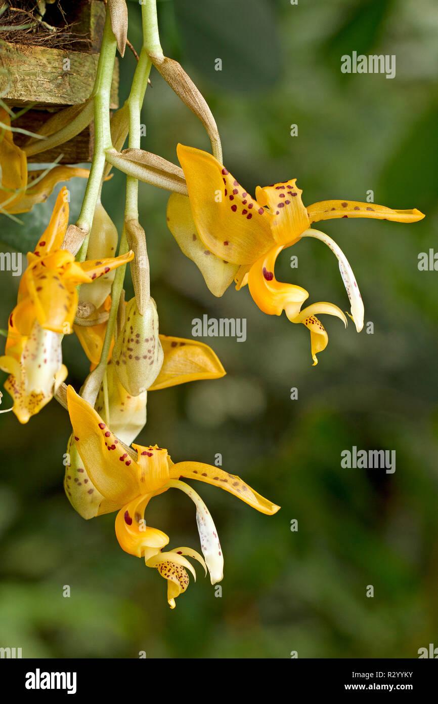 Orchidee (Stanhopea jenischiana) Stockbild