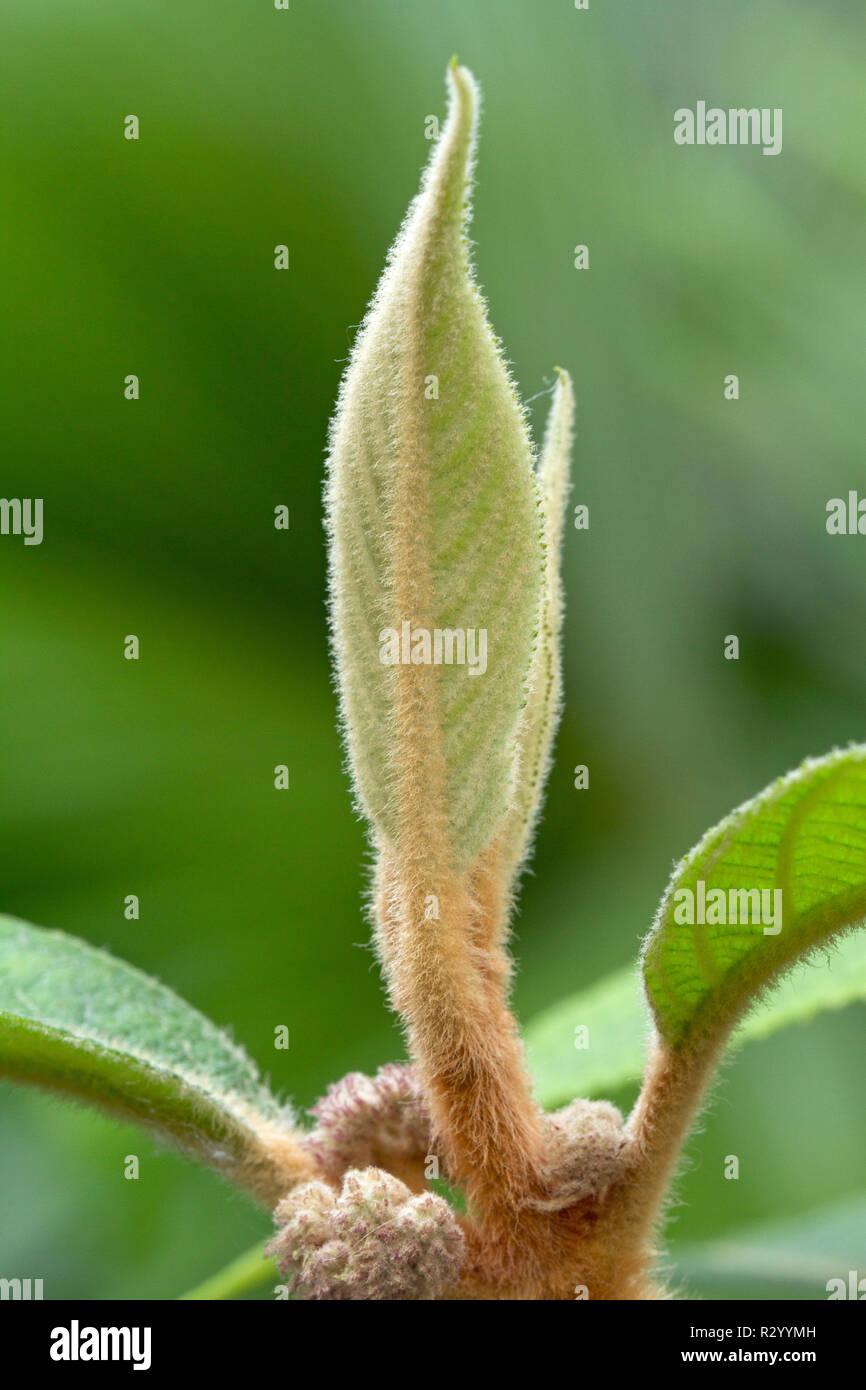 Koch's beautyberry (Callicarpa kochiana) Stockbild