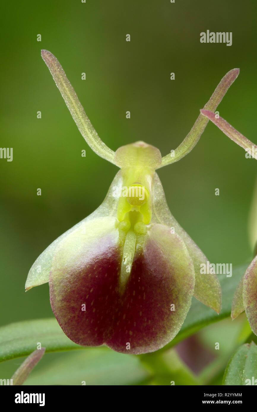 Orchidee (Epidendrum porpax) Stockbild