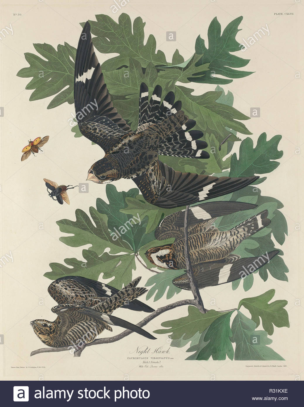 Night Hawk. Stand: 1832. Medium: Handcolorierte Radierung und Aquatinta auf Whatman Papier. Museum: Nationalgalerie, Washington DC. Autor: Robert Havell nach John James Audubon. Stockbild