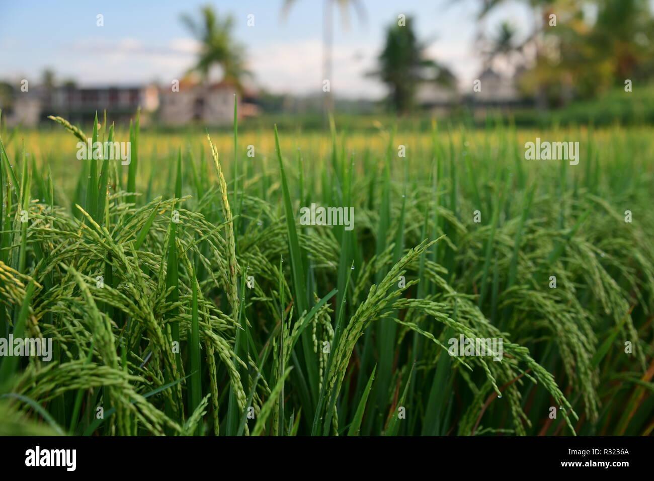 Reisfeld in Indonesien bei Sonnenaufgang morgen Stockbild