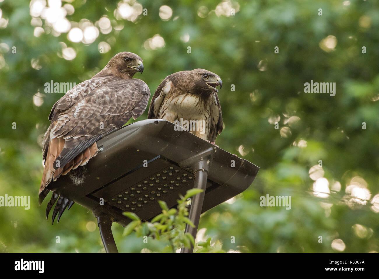 Ein paar wilde rote Falken (Buteo Jamaicensis) sitzt auf einem Mast ein Eichhörnchen zusammen essen in North Carolina, USA. Stockfoto