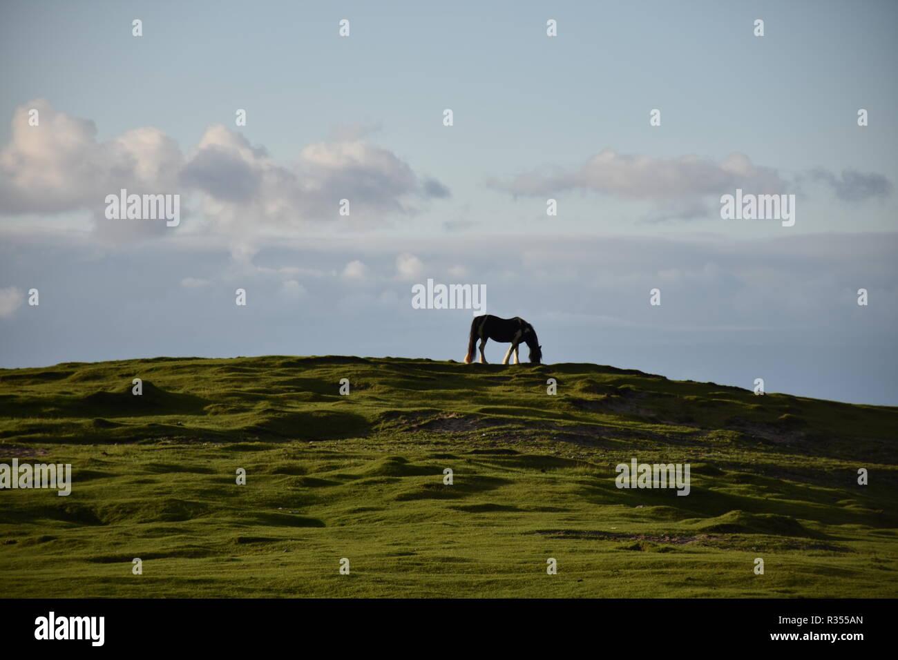 Pferd, Hügel, Kuppe, grasen, fressen, Weide, Wiese, Landwirtschaft, Ross, Norwegen, Lofoten, Fjordpferd, Flakstad, Jahreszeit, Sommer, Herbst, Leknes, Stockbild