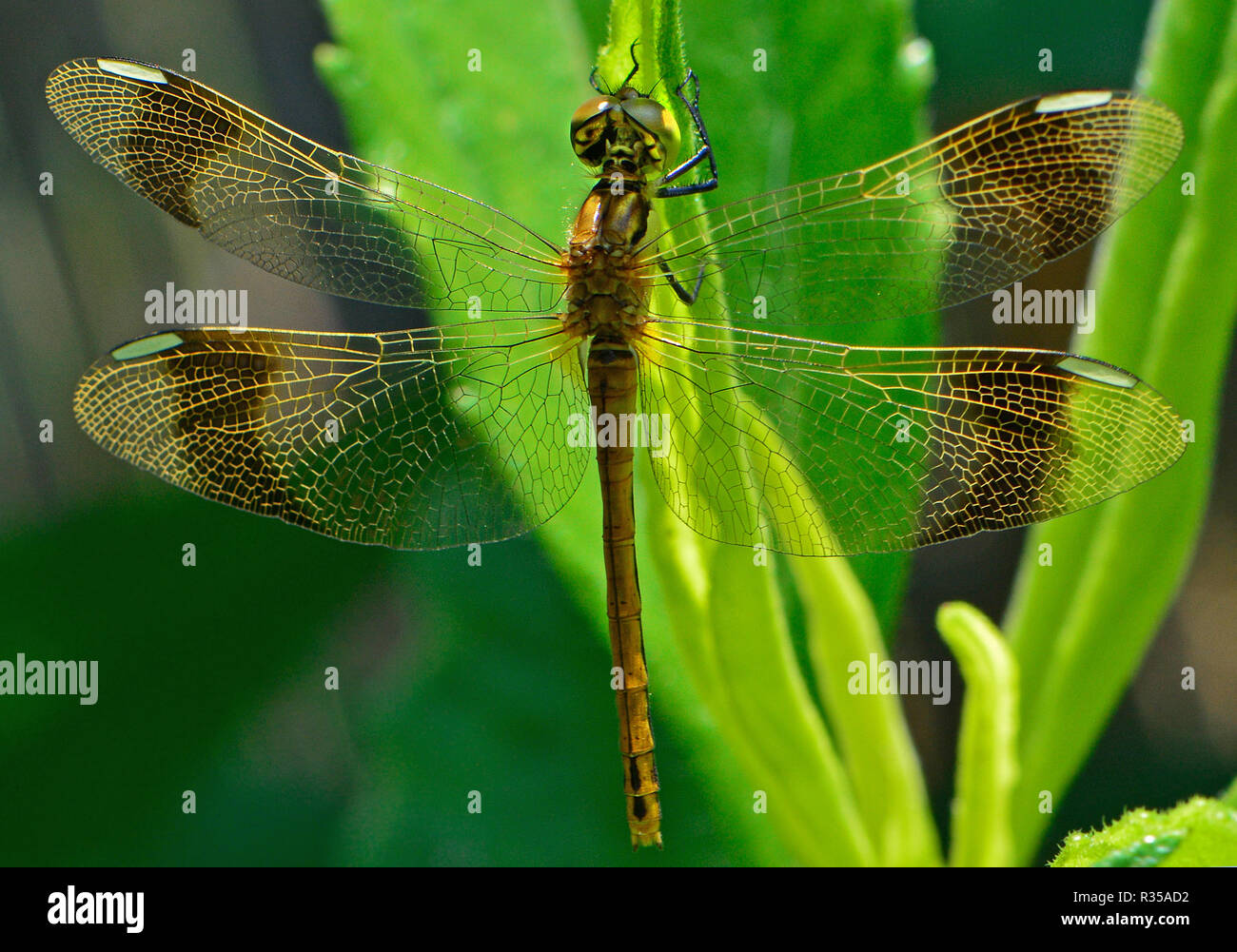 Dragon-fly Stockbild