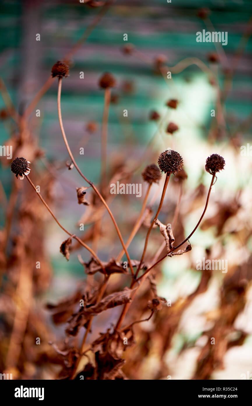 Getrocknete Blumen in der Natur auf dem Hintergrund einer grünes Haus. Welken Natur vor dem Winter. Stockbild