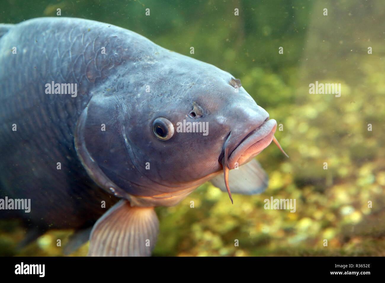 Carp ist ein atracine Fisch für die Angler Stockbild