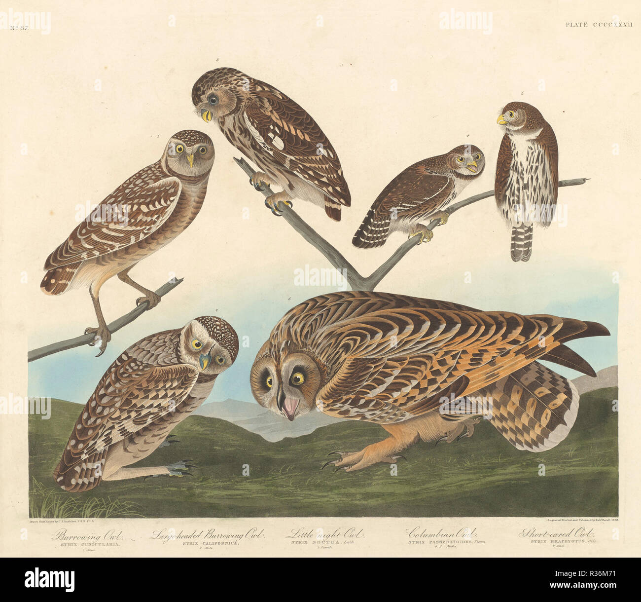 Grabende Eule, Large-Headed andLittle Graben OWL Night Owl. Stand: 1838. Medium: Handcolorierte Kupferstich und Aquatinta auf Whatman webte Papier. Museum: Nationalgalerie, Washington DC. Autor: Robert Havell nach John James Audubon. AUDUBON, John James. Stockbild