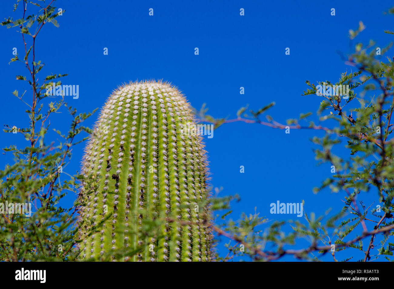 Saguaro Kaktus vor blauem Himmel Stockfoto