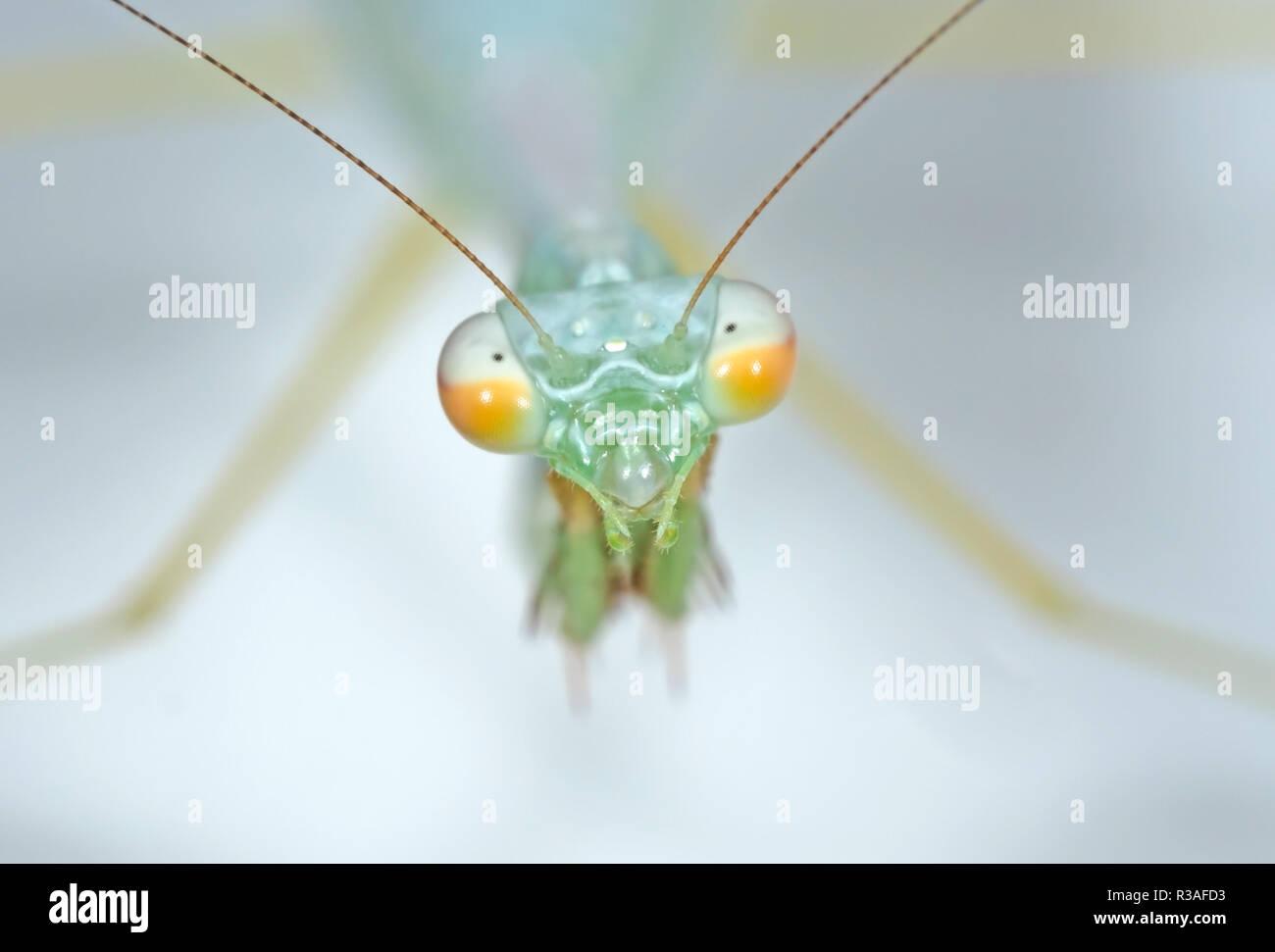Makrofotografie der Leiter der Gottesanbeterin isoliert auf Hintergrund Stockbild