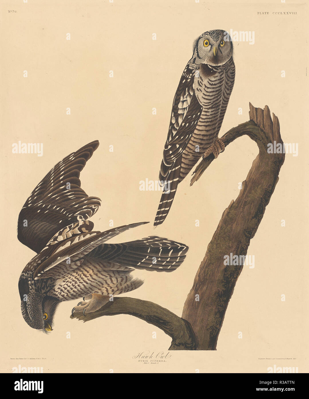 Hawk Owl. Stand: 1837. Medium: Handcolorierte Radierung und Aquatinta auf Whatman Papier. Museum: Nationalgalerie, Washington DC. Autor: Robert Havell nach John James Audubon. AUDUBON, John James. Stockbild