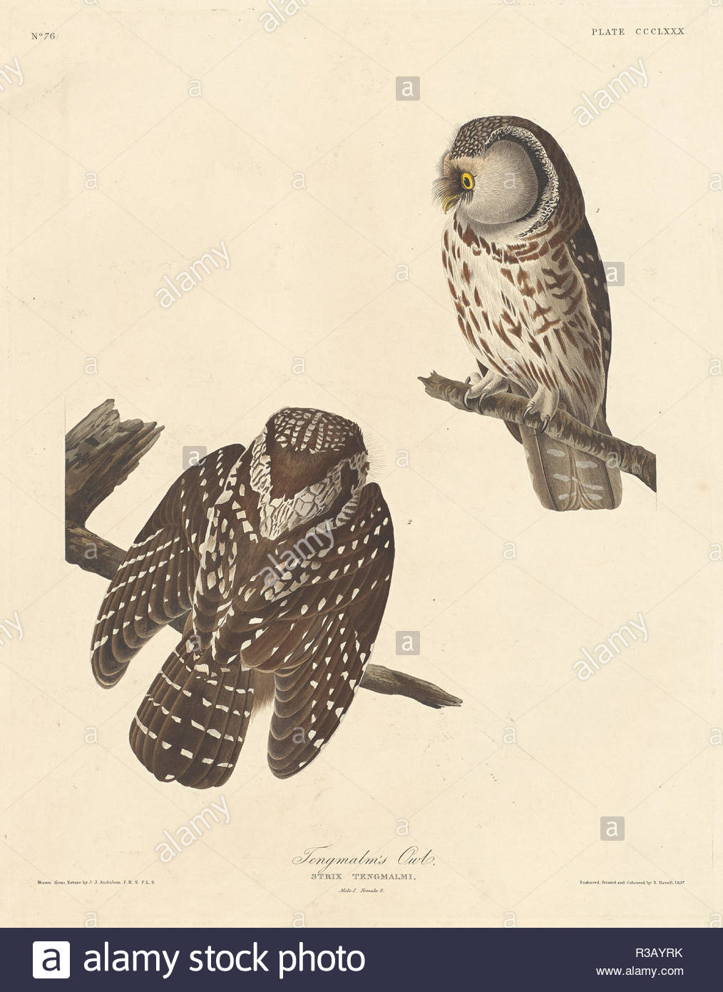 Tengmalm's Owl. Stand: 1837. Medium: Handcolorierte Radierung und Aquatinta auf Whatman Papier. Museum: Nationalgalerie, Washington DC. Autor: Robert Havell nach John James Audubon. Stockbild