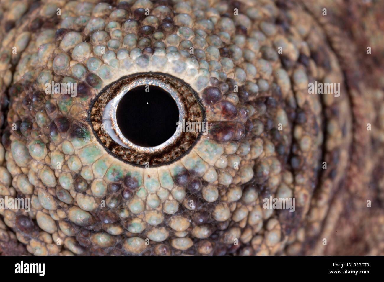 Nahaufnahme der Chameleon Augapfel Stockbild
