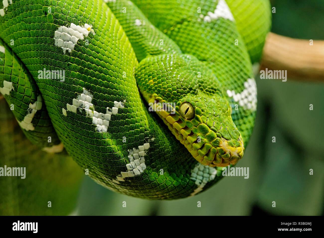Green Tree python, Morelia viridis, beheimatet in Neuguinea und Indonesien Stockbild