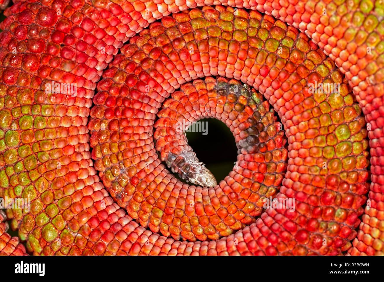 Kreisförmige Muster der roten Schuppen auf Panther chameleon Schwanz eingerollt, Furcifer pardalis, beheimatet in Madagaskar Stockbild
