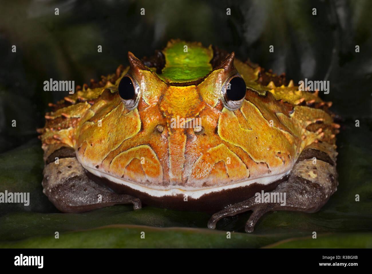 Südamerikanische horned Frog oder Pacman Frog, Ceratophrys Stockbild
