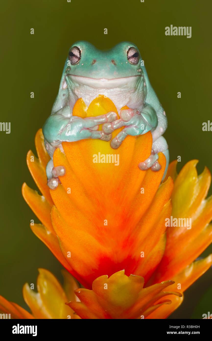White's Tree Frog, Litoria caerulea, nur in Australien und Neuguinea Stockbild