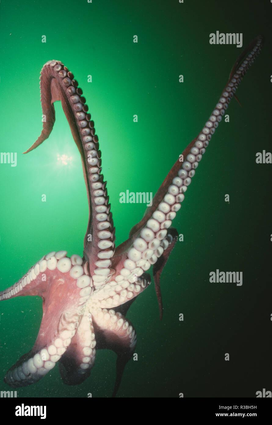 Octopus Tentakeln. Stockbild