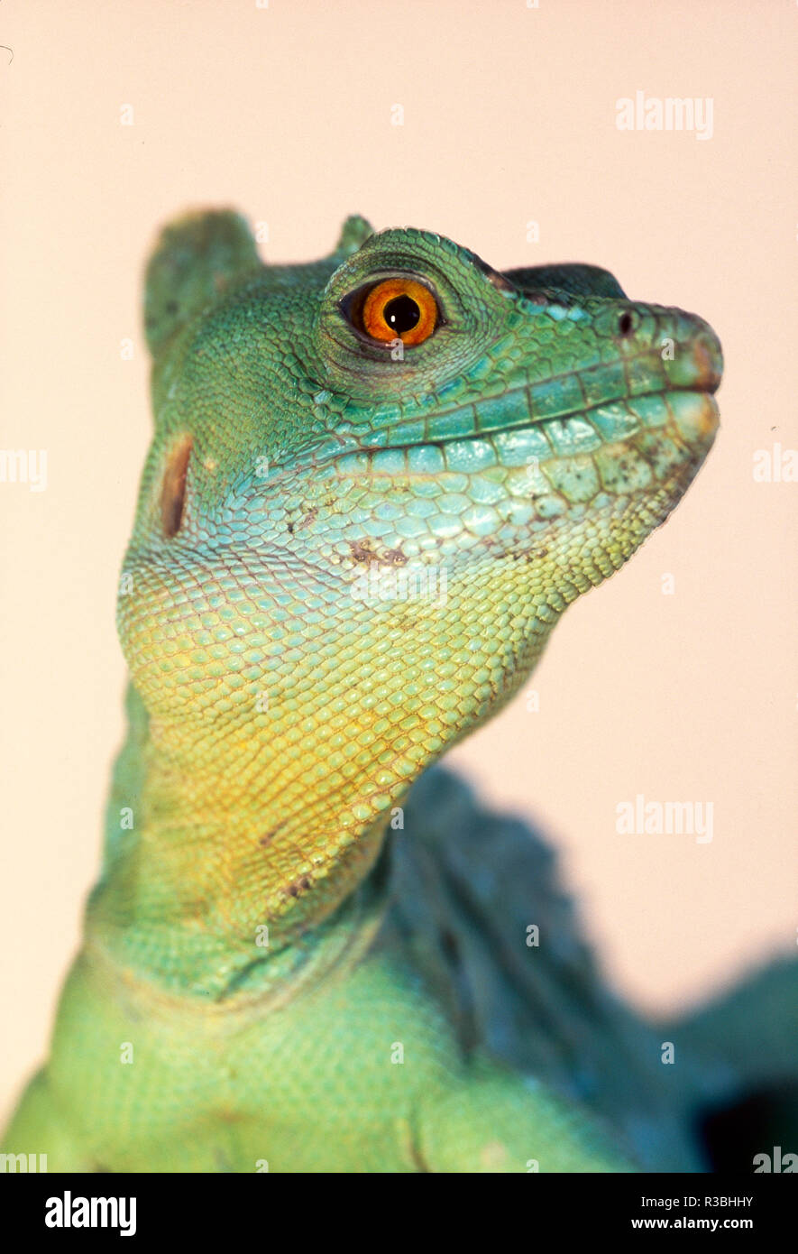 Basilisk Lizard (Basiliscus sp.), alias Jesus Lizard, close-up gegen hellen Hintergrund, Brasilien Regenwald Stockbild