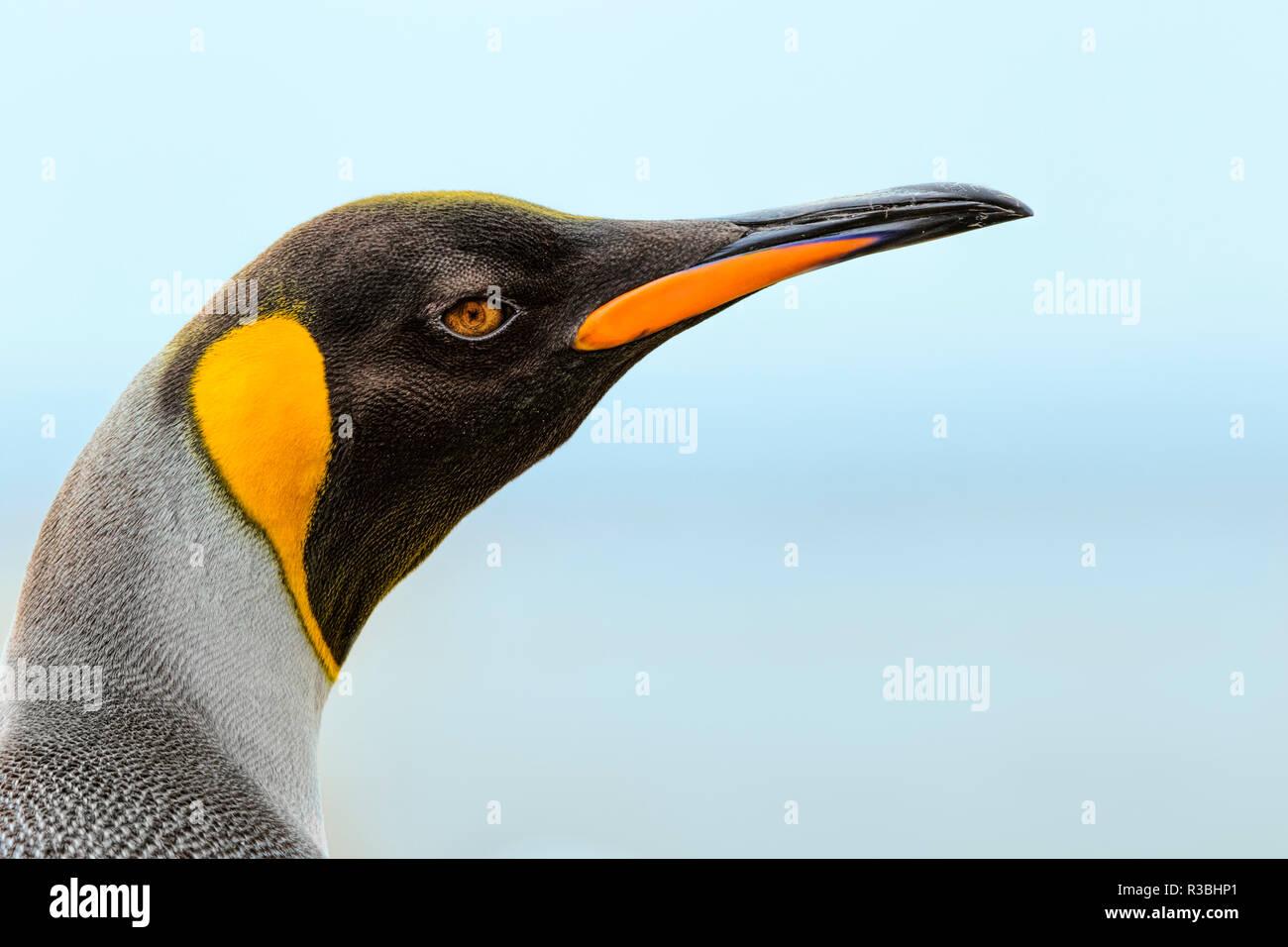 Königspinguin, Volunteer Point, East Island, Falkland Inseln, Aptenodytes patagonicus Stockbild