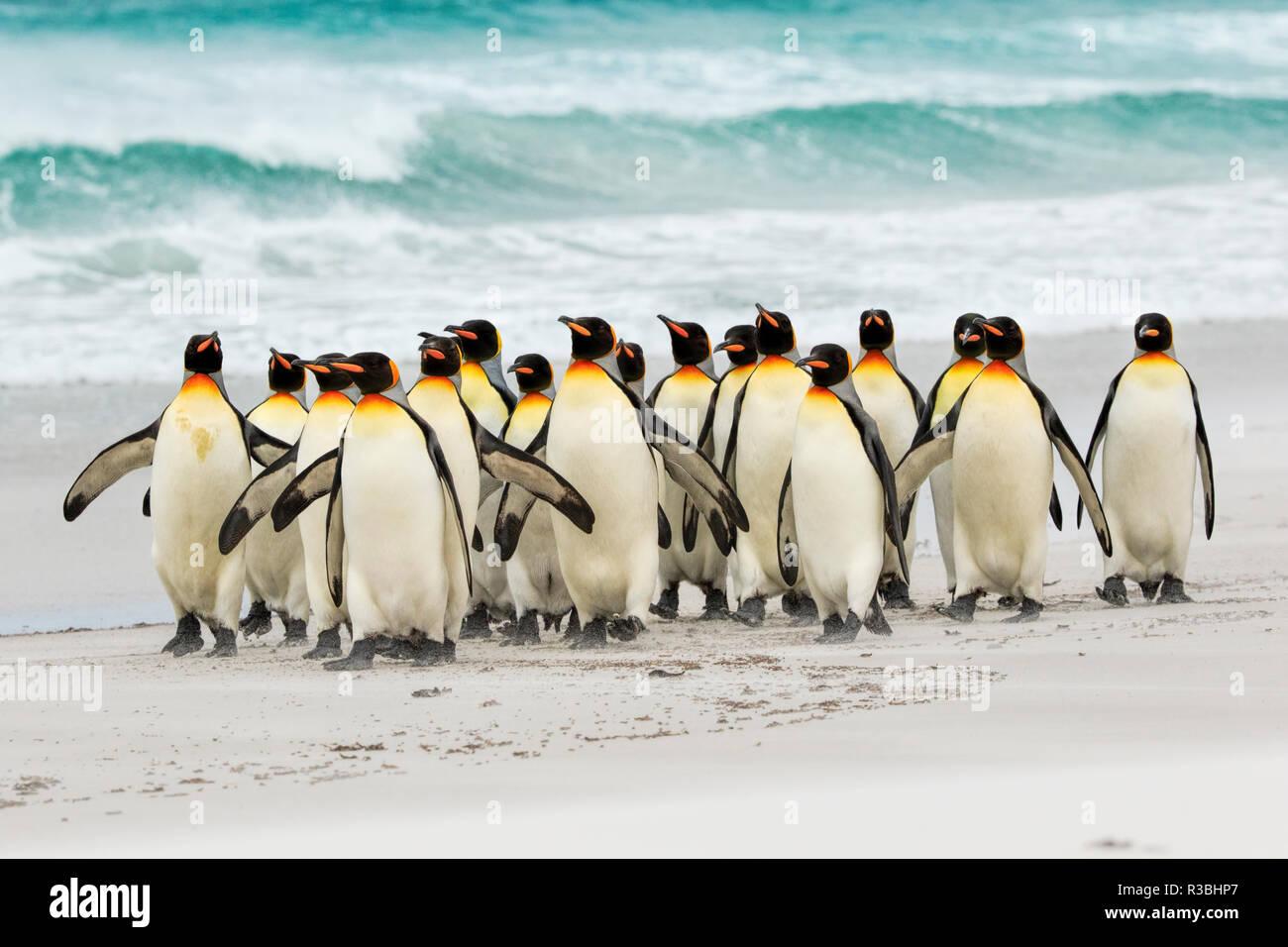 Gruppe von König Pinguine am Strand, Volunteer Point, East Island, Falkland Inseln, Aptenodytes patagonicus Stockbild