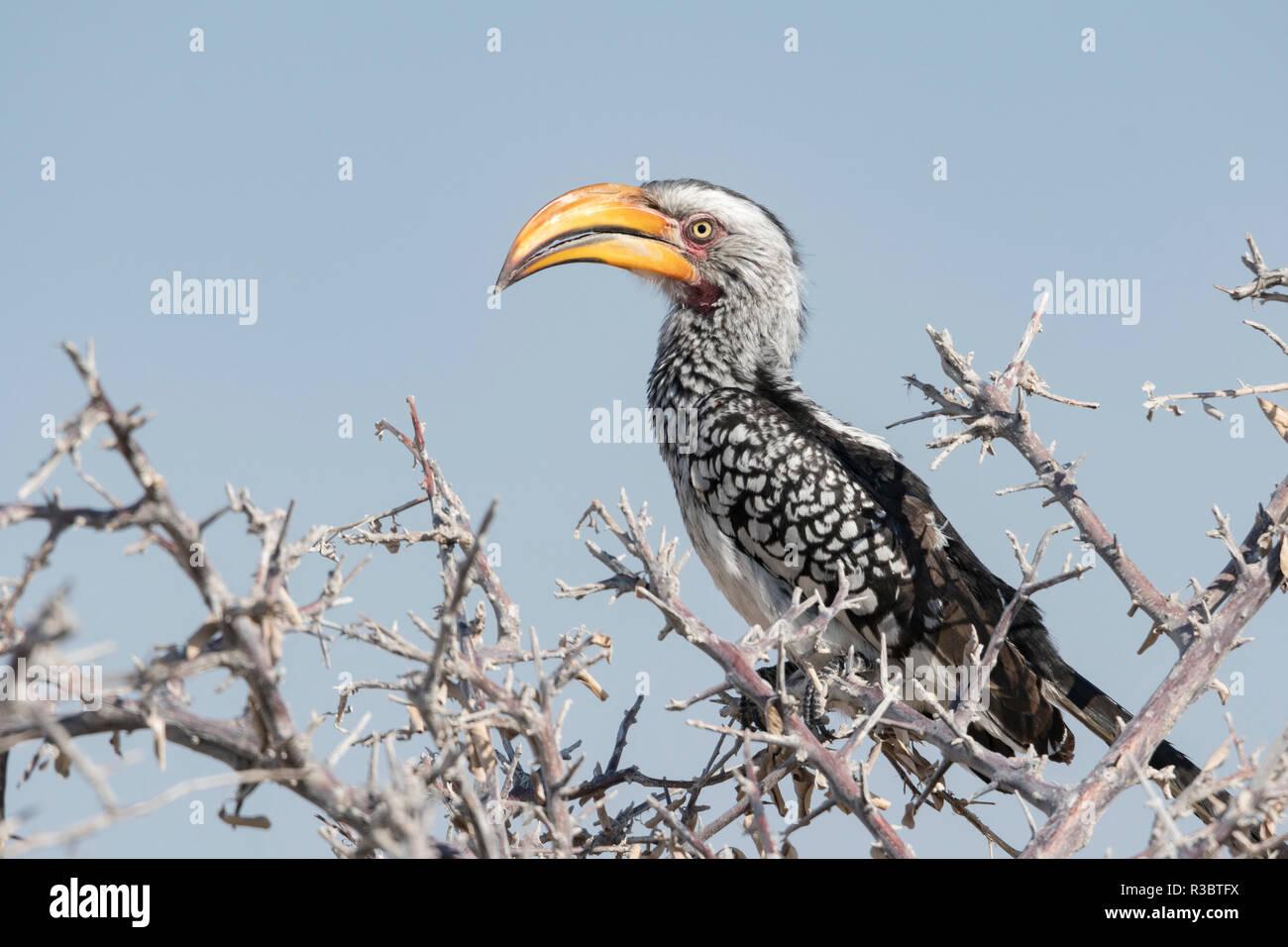 Yellow Hornbill, Tockus leucomelas, in einem Baum, Namibia thront. Stockbild