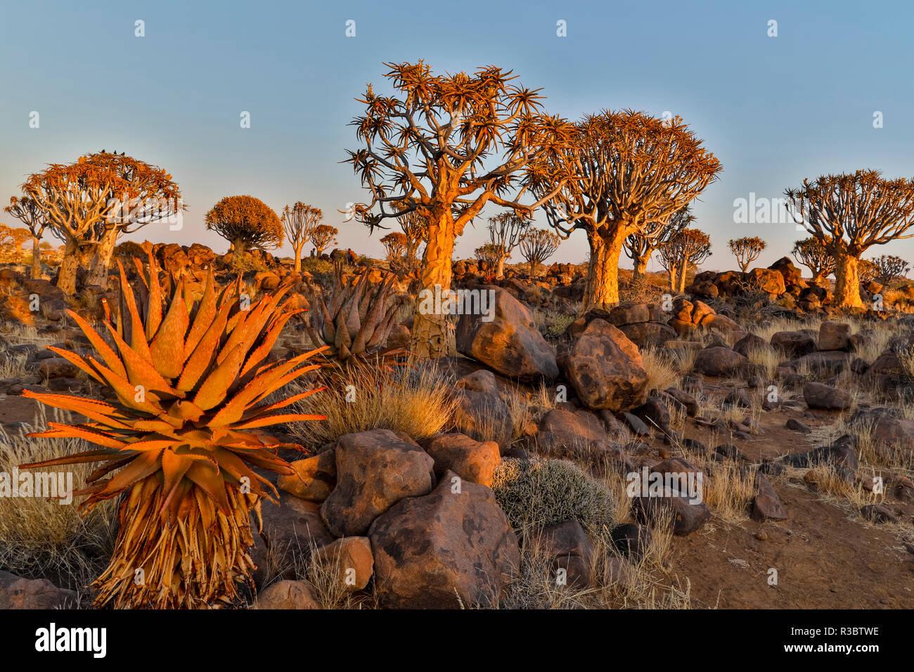 Köcherbäume Landschaft, Namibia Stockbild