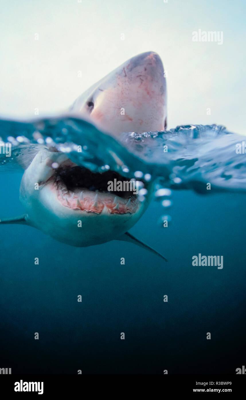 Great White Shark (carcharodon Carcharias) Südafrika Stockbild