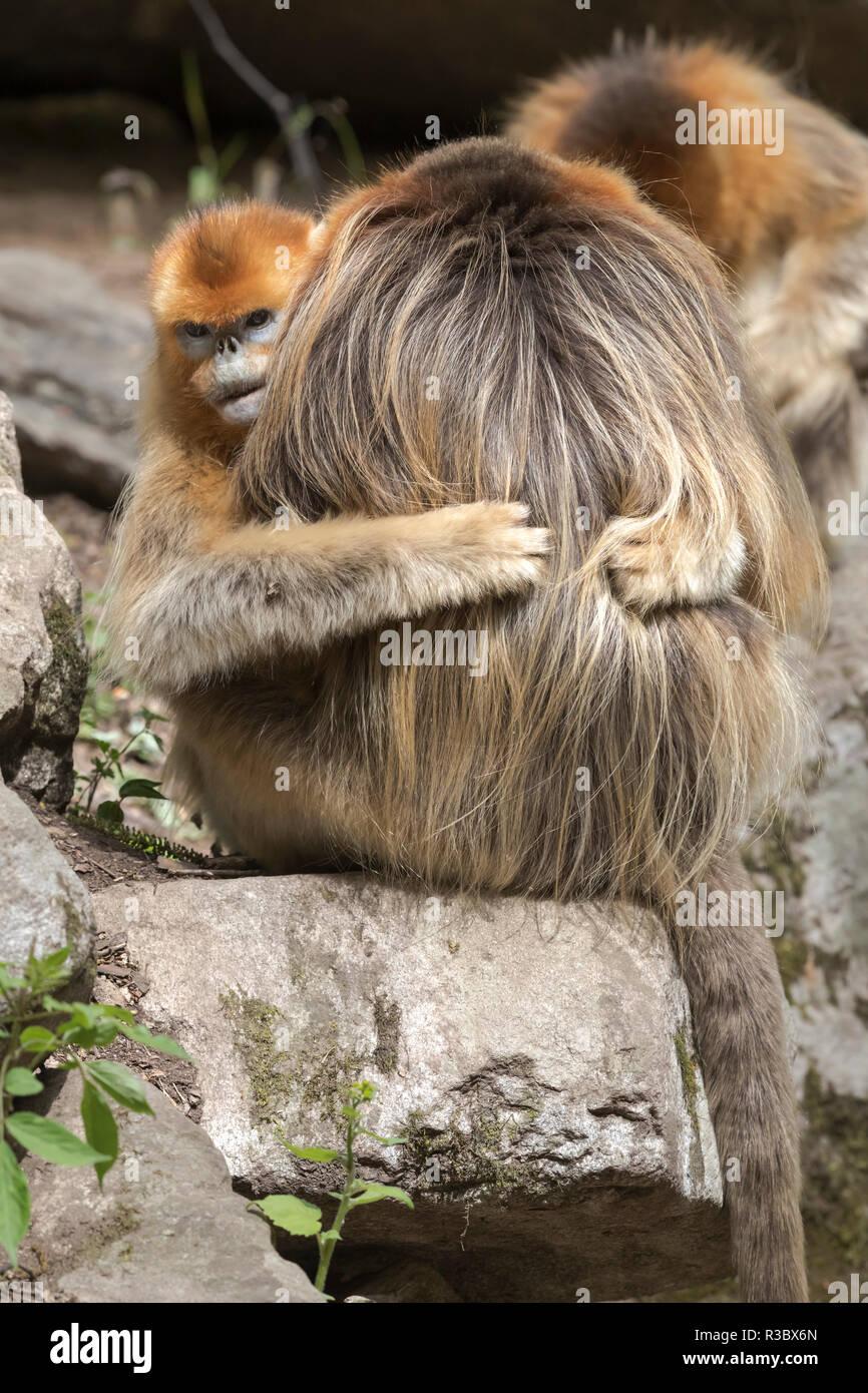 China, in der Provinz Shaanxi, Foping National Nature Reserve. Golden snub-gerochene Monkey (Rhinopithecus roxellana, gefährdet). Weibliche Umarmungen ein Mann. Stockbild