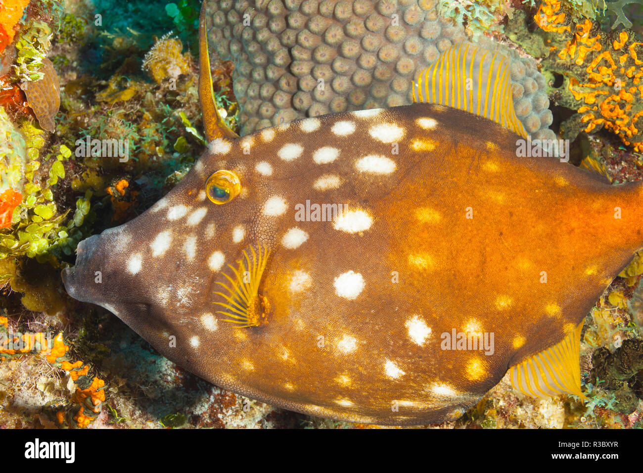 Nördlichen Bahamas, Karibik. Filefish. Stockbild