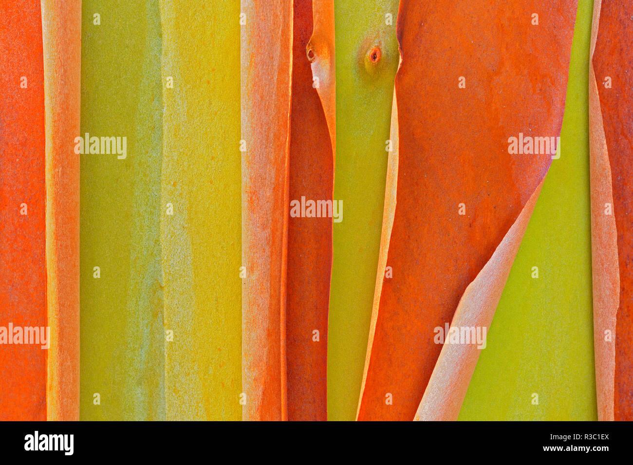 Kanada, British Columbia, Saltspring Island. Abblätternde Rinde von Arbutus Baum. Stockbild