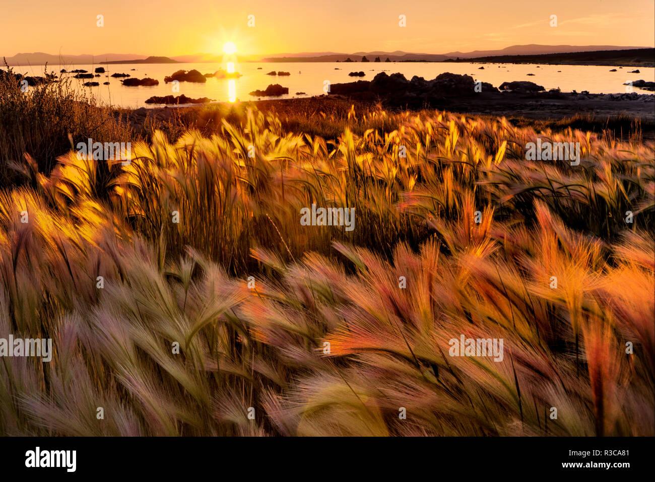 Foxtail Grass und Mono Lake bei Sonnenaufgang, Great Basin, östlichen Sierra, Kalifornien. Stockbild
