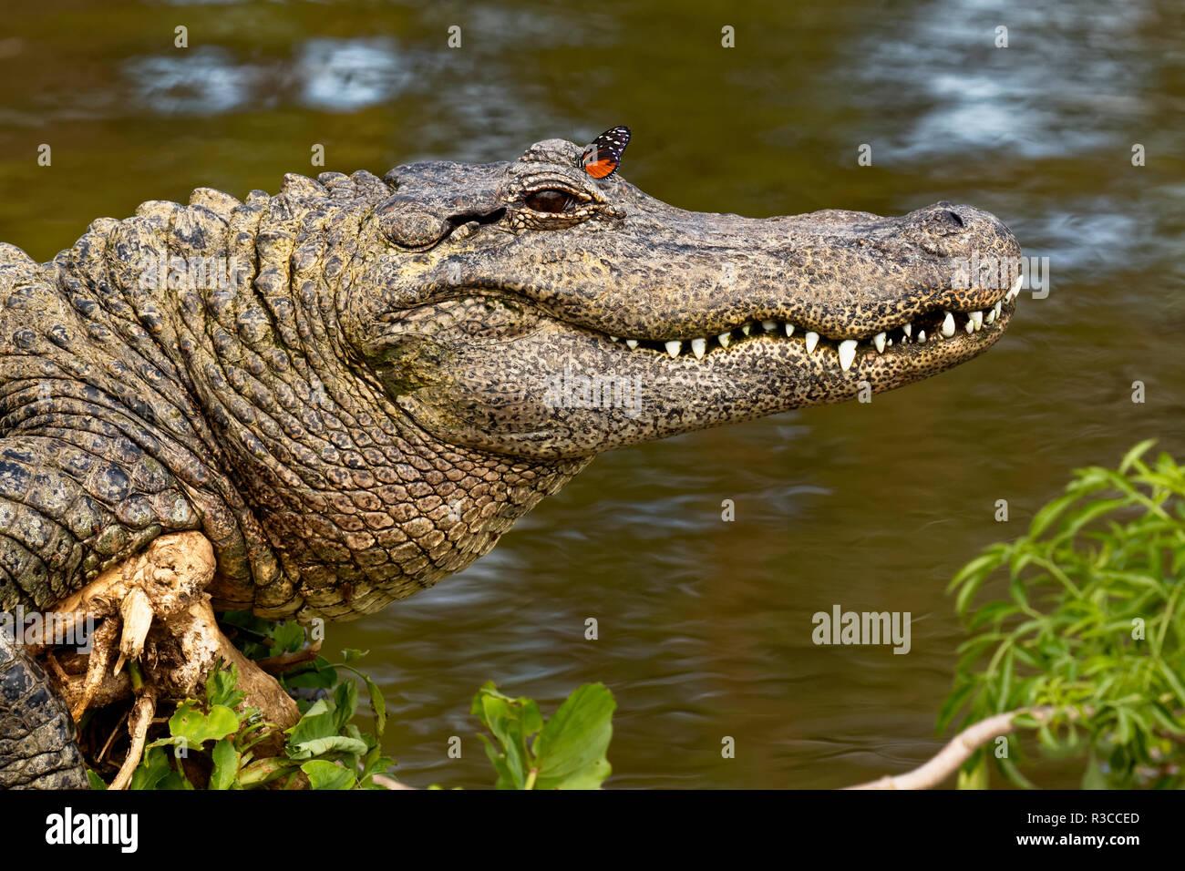American alligator Sonnen mit Schmetterling auf Kopf, Alligator mississippiensis, Gatorland, Orlando, Florida. Stockbild