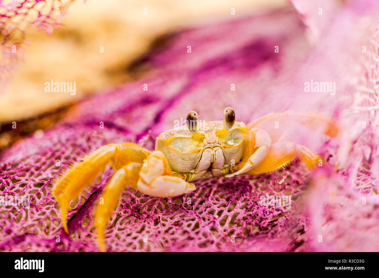 Ghost Crab (Ocypode quadrata) versteckt in gewaschen Meer Ventilator am Strand in der Nähe von Fort Jefferson, Dry Tortugas National Park, südlich von Key West, Florida, USA Stockbild