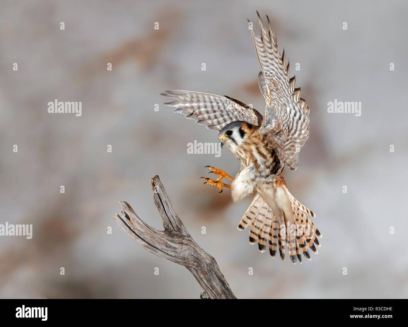 Weibliche Amerikanische kestrel Landung, Louisville, Kentucky, Falco sparverius Stockbild