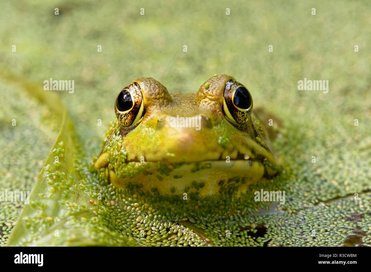 Amerikanische Bullfrog, Lithobates catesbeianus, die in der brasilianischen Watermeal, Wolffia brasiliensis, Oldham County, Kentucky Stockbild