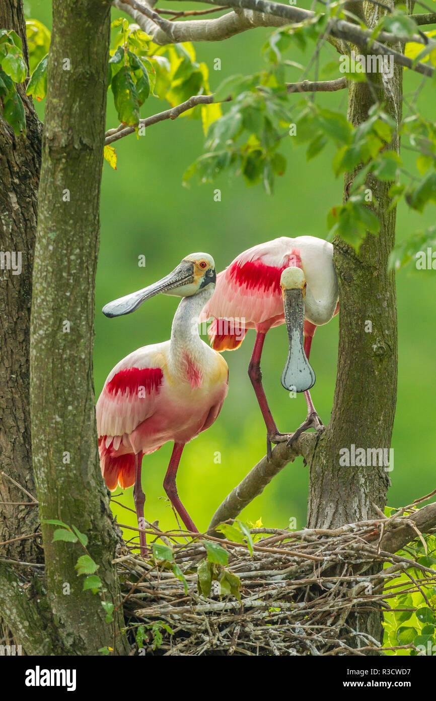USA, Louisiana, Jefferson Insel. Roseate Löffelreiher und Nest. Stockbild