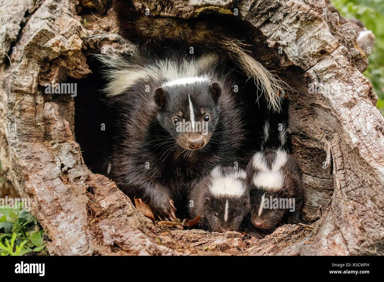 Baby Skunks und erwachsene Frau Mutter, Mephitidae, Minnesota Stockbild