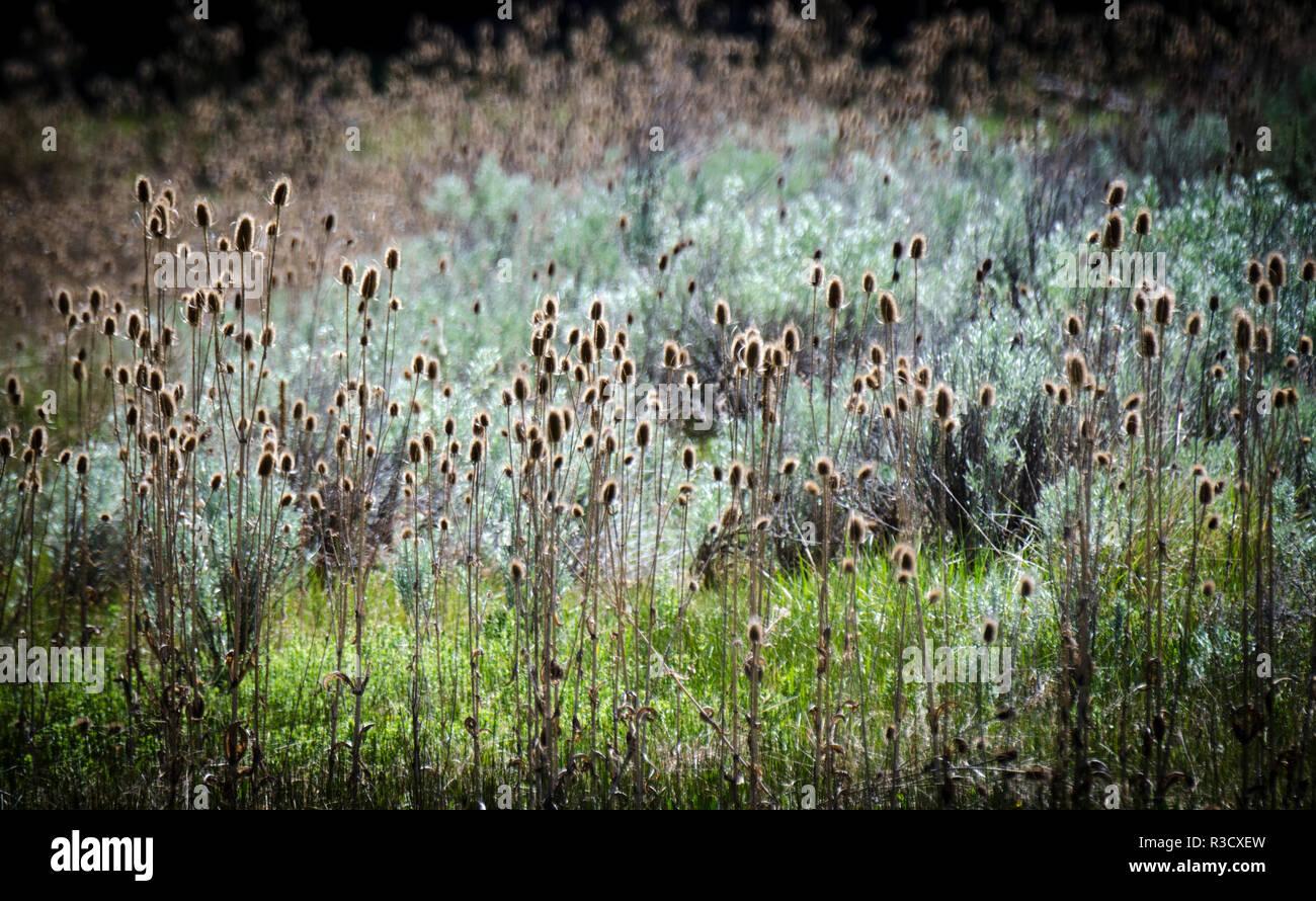 Crooked River State Park, Florida, USA. Gemeinsame Karde ist Dipsacus sylvestris Fronten ein impressionist Sun Splash. Stockbild