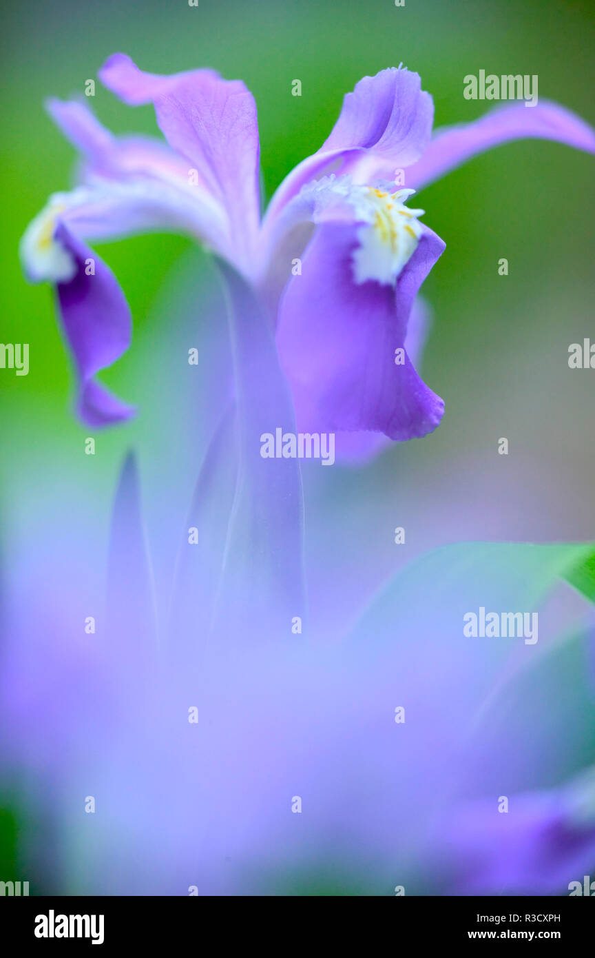 Great Smoky Mountains National Park, Tennessee, Frühling blühende Crested Zwerg Iris Stockbild