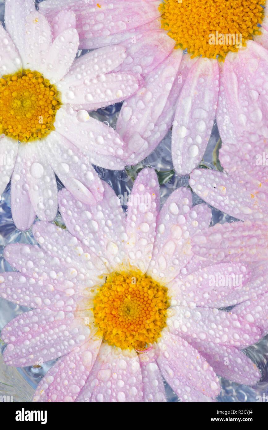 Weißrosa daisy flowers Tautropfen und schwebend im Wasser Stockbild