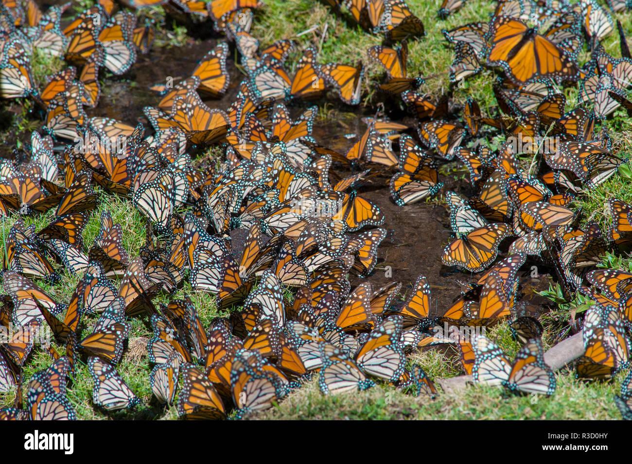El Rosario Schmetterling finden, Mexiko Stockbild