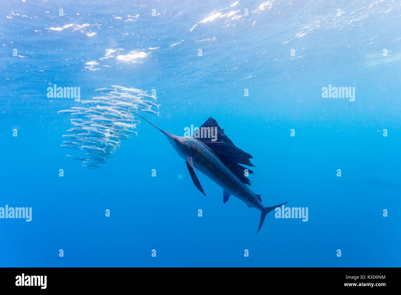Fächerfisch (Istiophorus albicans) Fütterung auf brasilianischen Sardinen etwa 10 Meilen vor der Küste von Isla Mujeres, Halbinsel Yucatan, Mexiko Stockbild